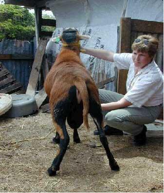 Susan with a Barbados Blackbelly Sheep