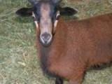 American Blackbelly Lambs