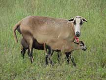 Blackbelly Ewe with Lamb