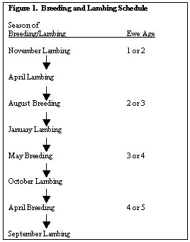 Figure 1 - breeding/lambing schedule
