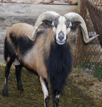 American Blackbelly Sheep
