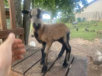 American Blackbelly Ram Lambs