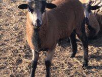 American Blackbelly ram lamb for sale