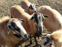 Registered Barbados Blackbelly Rams for sale