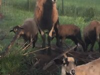American Blackbelly Ram Lambs and Mature Ewes