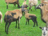 Barbados Blackbelly Ewes and Ram in Canada