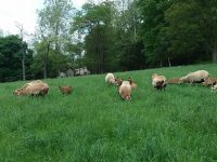 Barbados Blackbelly Lambs -- Rams and Ewes for Sale