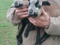 Registered Barbados Blackbelly ram lambs for sale