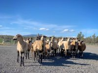 Purebred Blackbelly Ewes & Ewe Lambs - Central Oregon