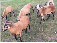 American Blackbelly Rams and Ewes Available