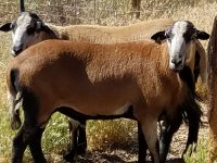 Long yearling Barbados Blackbelly ram with excellent lines