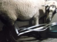 3 bred ewes and a nice ram for sale