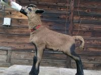 Barbados lambs and adults occasionally available