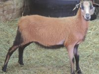 SPRING 2020 Barbados Blackbelly Ewe and Ram Lambs for Sale