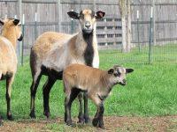 American Blackbelly Ewe lambs For Sale