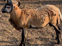 American Blackbelly Rams