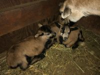 Lambs and ewe available Northern California