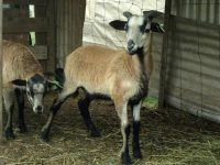 American Blackbelly lambs for Sale