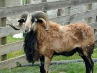 American Blackbelly Ram for Sale