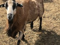 California -Beautiful Blackbelly Rams for Sale