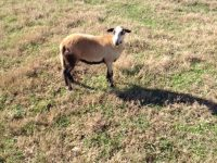 Barbados Blackbelly ewe