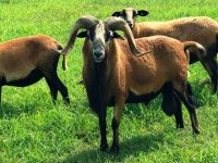 Americian Blackbelly Ewes and Rams