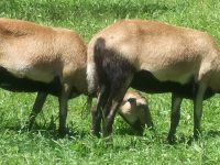 Barbados blackbelly, bred ewes. (polled) registered, none over 2.5 yrs. hard decision to make