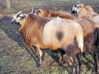 Proven Barbados Blackbelly Ram, Registered, Great Quality