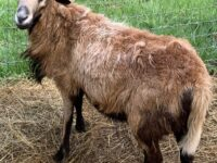Young Barbados Blackbelly Ram for Sale