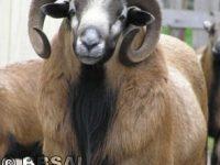 ISO Registered American Blackbelly Ram near Alabama