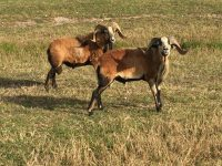 Americian Blackbelly Ewes and Rams Available