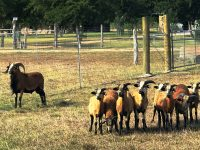 American Blackbelly Sheep For Sale