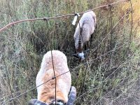 5 Blackbelly Rams for sale