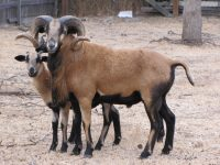American Blackbelly Rams For Sale
