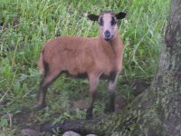 Classifieds - Barbados Blackbelly Sheep Association