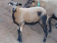 **PUREBRED AMERICAN BLACKBELLY LAMBS FOR SALE**
