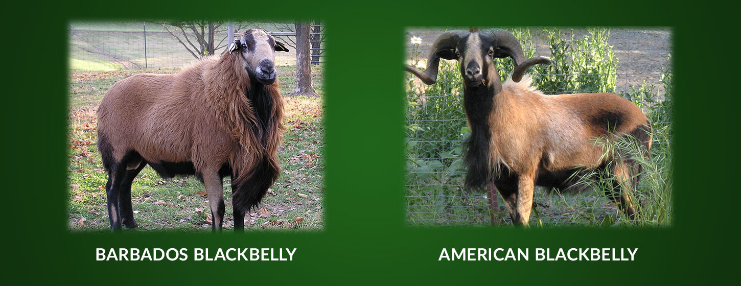 Barbados Blackbelly Sheep Association